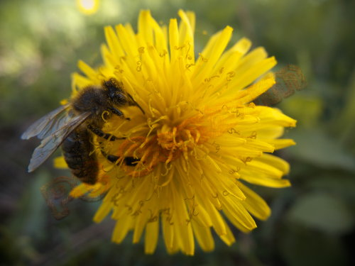Common Dandelion with honeybee